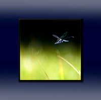 Dragonfly over pond with frame.