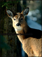 _V0W7574 white tail deer jpeg