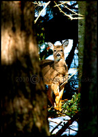 _V0W7801 white tail deer jpeg